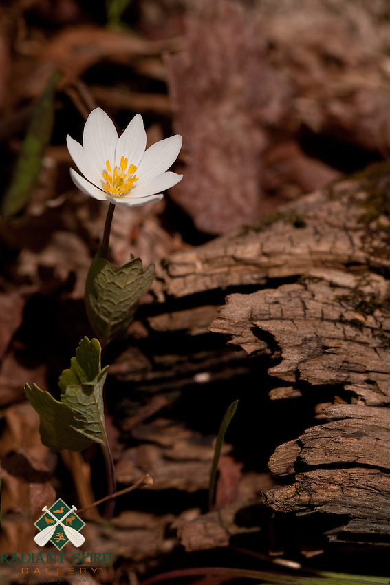 Bloodroot, Sanguinaria canadensis, is one of the earliest woodland plants to emerge in the Spring. Its leaves unroll in full sun, and curl around the flower stalk on cloudy days and at night.