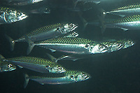 Europäische Makrele, Scomber scombrus, Atlantic mackerel, common mackerel