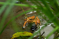 Northern Red-legged Frog (Rana aurora) in lowland forest stream.  Olympic National Park, WA.   Sept.  Found from British Columbia south to California.