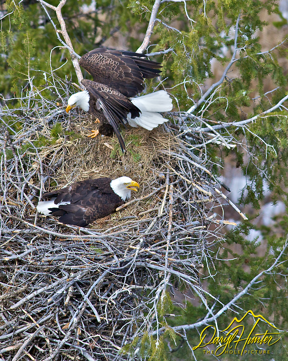 squawking, Bald Eagles, Eagles Nest, Ririe, Idaho