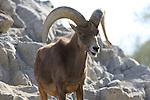 desert bighorn sheep in Palm Desert