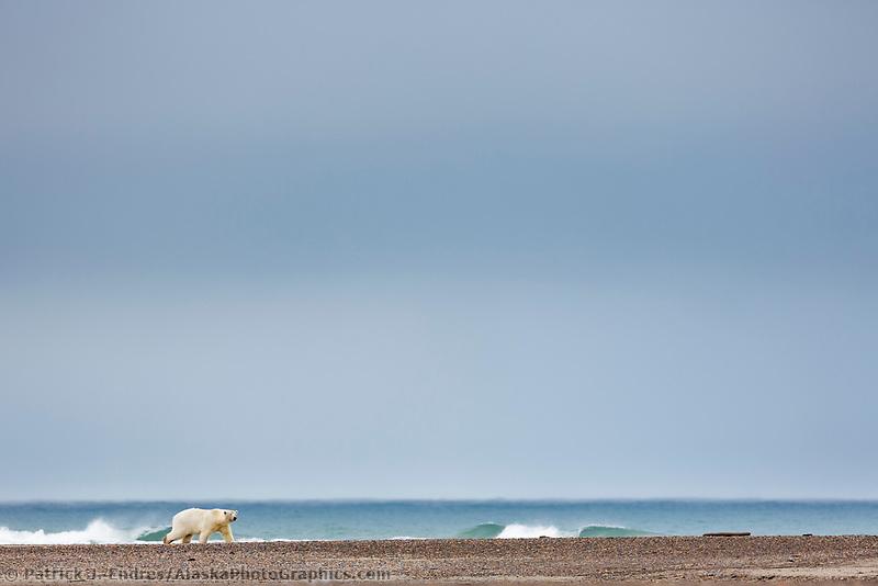 Polar bear walks along a barrier island in Alaska's arctic.