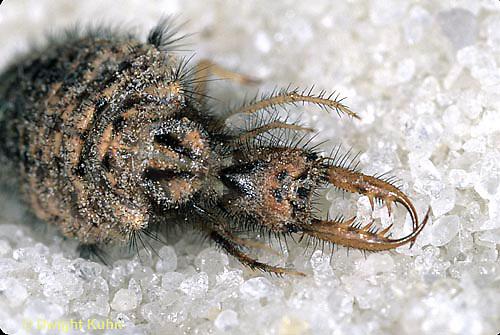 1L50-023e  Antlion larva waiting in pit - Myrmeleon crudelis