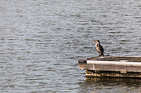 A Double-crested cormorant surveys the scene from its position at the end of a dock at San Leandro Marina on San Francisco Bay.