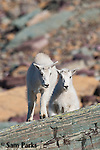 Mountain goat kids on rock. Glacier National Park, Montana.