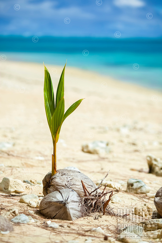 A young coconut tree grows between old coconuts at Amuri Beach, Aitutaki Island, Cook Islands.