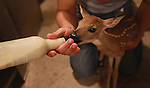 TreeHouse Wildlife Center intern Dillon Laaker feeds a whitetail deer fawn with a special milk formula from a bottle.  It will be released into the wild once it's grown.  Other than the bottle feedings, human socialization with it is kept to a minimum, so it can fend for itself in the wild once released.