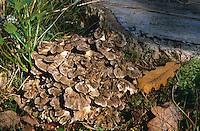 Gemeiner Klapperschwamm, Laubporling, Spatelhütiger Porling, Maitake, Grifola frondosa, hen-of-the-woods, ram's head, sheep's head, Polypore en touffes, Poule des bois
