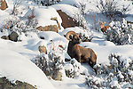 bighorn sheep in the snow, winter morning in Rocky Mountain National Park, Colorado, USA