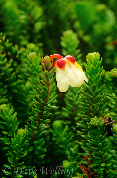 156680002 a moss heather wildflower cassioppe stelleriana puts forth a tiny white and red blossom in hatcher pass alaska