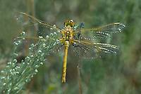 362740015 a wild female saffron-winged meadowhawk sympetrum costiferum perches on a plant at decheambeau ponds in mono county california