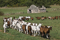 Europe/France/Midi-Pyrénées/46/Lot/Rocamadour: Troupeau de chêvres à la Borie d'Imbert
