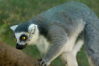 654000004 a ringtailed lemur lemur catta explores its enclosure at a wildlife rescue facility - animal is a wildlife rescue  - species is native to madagascar and endangered in its native habitat