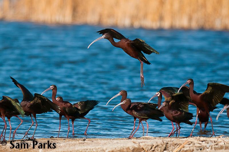 White-faced ibis. Hutton Lakes National Wildlife Refuge, Wyoming.
