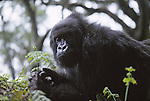 female mountain gorilla, Virunga Mountains