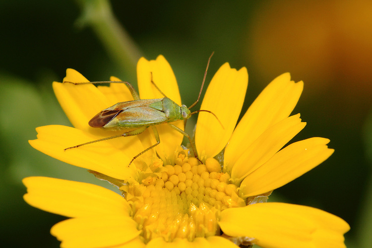 Common Green Caspid Bug - Lygus pratensis.
