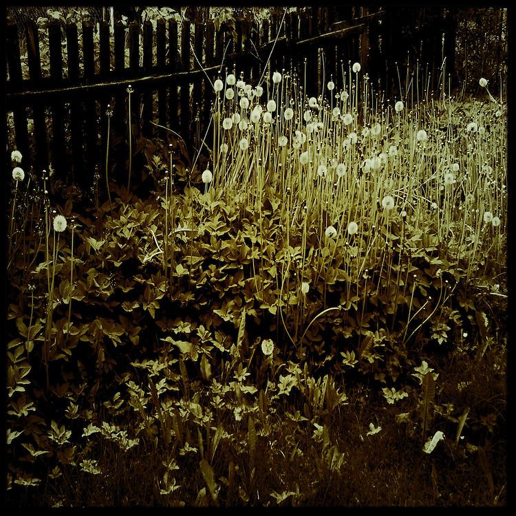Dandelions in a garden
