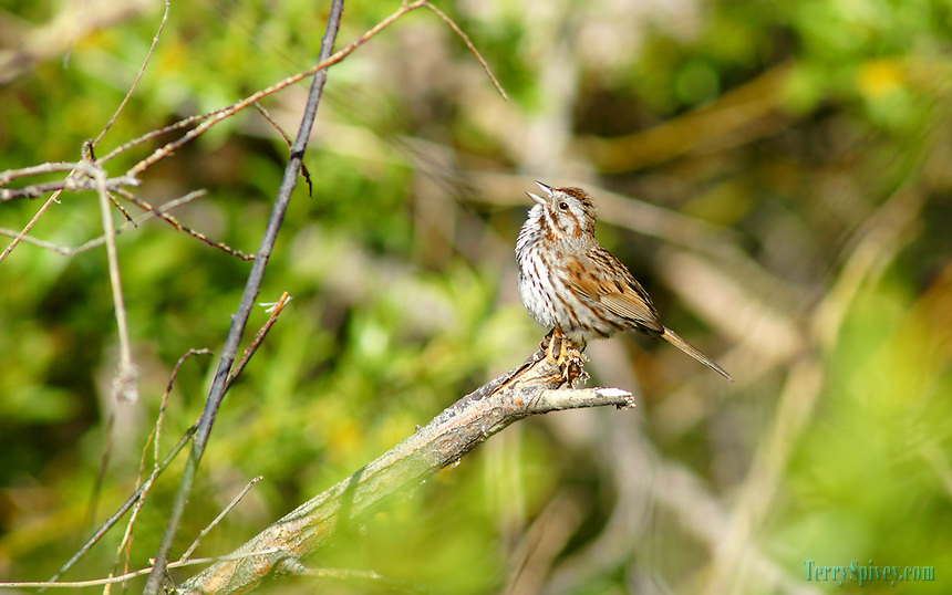 SONY DSC Song Sparrow