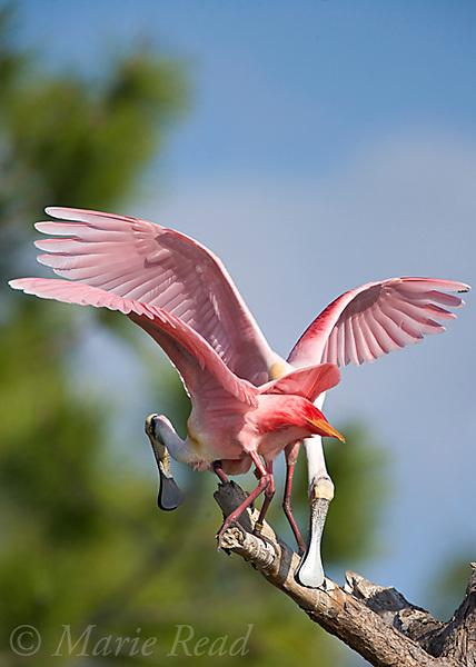Roseate Spoonbills (Ajaia ajaja), two trying to balance on same perch, Orlando, Florida, USA