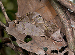 Satanic Leaf Tailed Gecko, Uroplatus phantasticus, Ranomafana National Park, Madagascar, curled up, camouflaged on leaf, Least Concern on the IUCN Red List