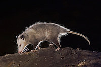 Virginia Opossum, Didelphis virginiana, adult at night on log, Uvalde County, Hill Country, Texas, USA, April 2006