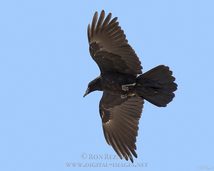 Northern Raven Overflight Close Portrait Mammoth Mountain Southern California