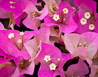 Virgin Gorda, British Virgin Islands, Caribbean <br /> Detail of Bouganinvillea