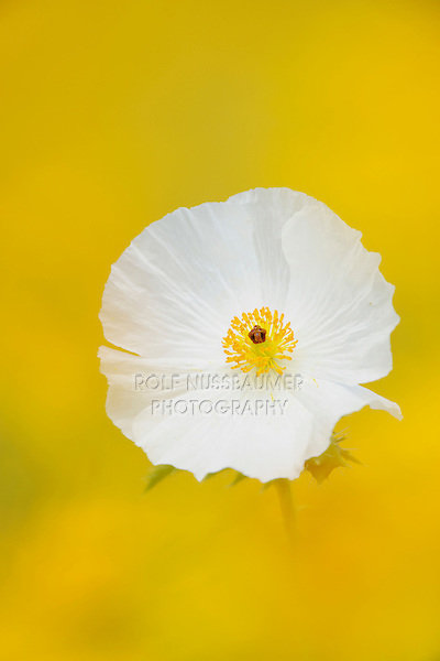 White Prickly Poppy (Argemone albiflora), blossom in wildflower field, Fennessey Ranch, Refugio, Coastal Bend,Texas Coast, USA