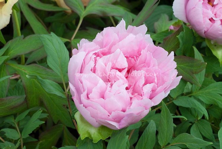 Paeonia Shintenchi peony flowers in pink bloom perennial peonies