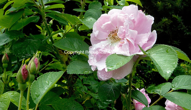 (Country Life Use Only)<br /> BETHLEHEM CT. 19 June 2014-061914SV07-Roses grow in the garden at the Bellamy-Ferriday house in Bethlehem. Rose name - Sarah Van Fleet.<br /> Steven Valenti Republican-American