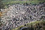 Southern Rockhopper Penguin & Black Browed Albatross Colony