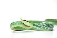 Rhinoceros Rat Snake, Rhynchophis boulengeri