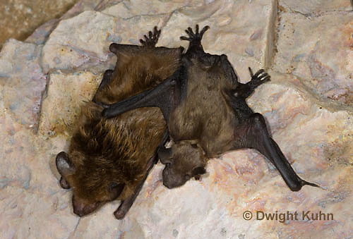 MA20-688z   Big Brown Bat mother and 4 week old young hanging from rock roost, Eptesicus fuscus