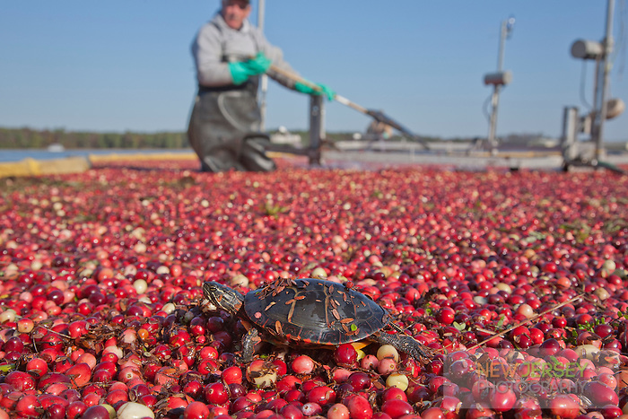 Eastern Painted Turtle, Cranberry Harvest, New Jersey