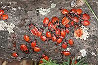 Gemeine Feuerwanze, Larve, Larven, Nymphe, Nymphen, Feuer-Wanze, Pyrrhocoris apterus, firebug