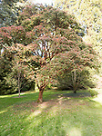 Paperbark maple tree, acer griseum, National arboretum, Westonbirt arboretum, Gloucestershire, England, UK