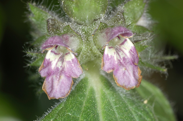 LIMESTONE WOUNDWORT Stachys alpina (Lamiaceae) Height to 80cm. Creeping and patch-forming, softly hairy perennial with upright flowering stems. Superficially similar to Hedge Woundwort but the plant is not scented when bruised. Grows in open woodland and on rocky ground on limestone. FLOWERS are 15-22mm long, often with creamy yellow markings; borne in whorls in open, leafy spikes (Jun-Aug).  FRUITS are nutlets. LEAVES are stalked and heart-shaped with rounded teeth. STATUS-Rare and restricted to protected sites in Gloucestshire and N Wales.