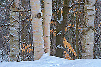 Birch trees in winter along Lake Muskoka. Muskoka Country.<br />