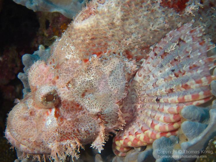 Da Xia Gu ('Grand Canyon'), Green Island -- A pinkish-white scorpionfish waiting for prey.