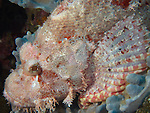Da Xia Gu ('Grand Canyon'), Green Island -- A pinkish-white scorpionfish waiting for prey.