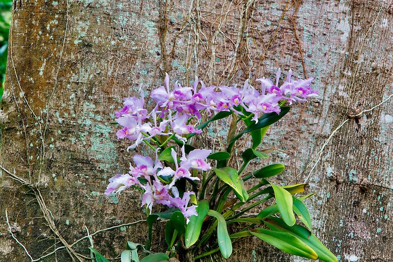 Orchid growing on tree  in National Tropical Botanical Garden. Kauai, Hawaii
