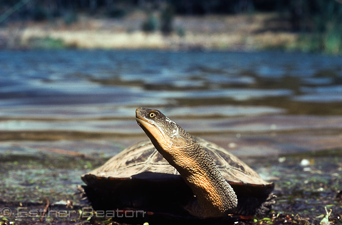 Long-necked Turtle (Chelodina longicollis) freshwater coastal lake, southeastern Australia