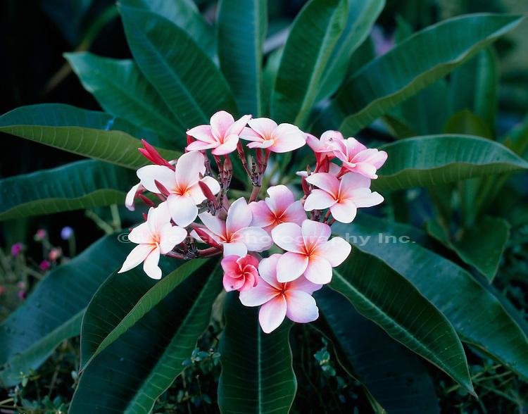 """""""Plumeria, Kalapana-Puna, Hawaii   HAWAII"""""""