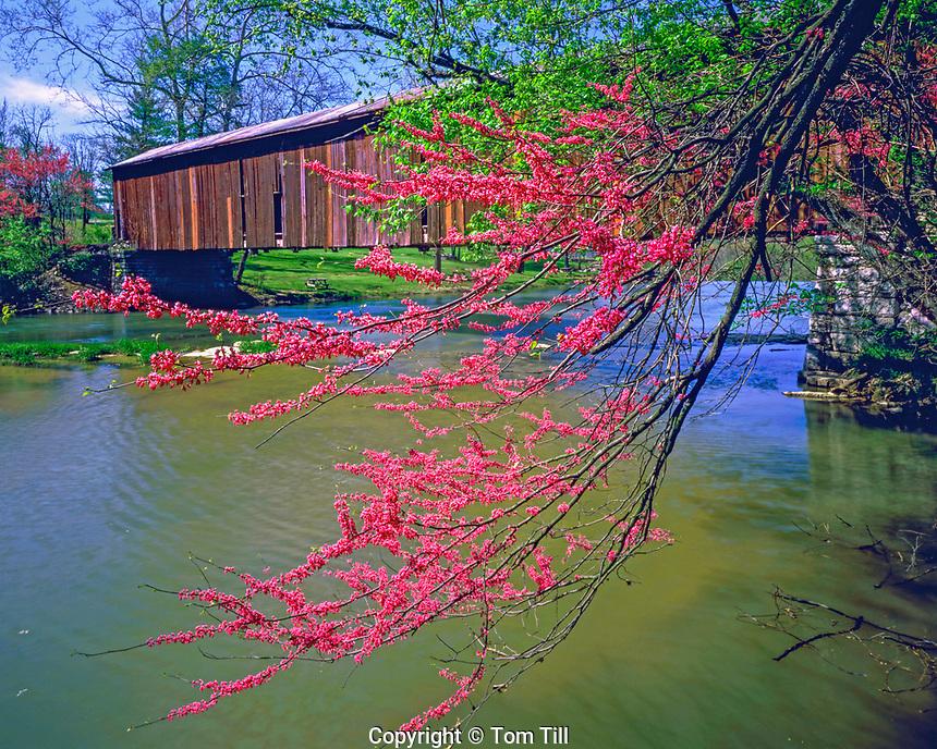 Redbud tree & covered bridge, Cataract Falls State Park, Indiana
