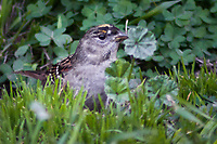 An overgrown lawn provides a perfect foraging opportunity for a Golden-crowned sparrow.