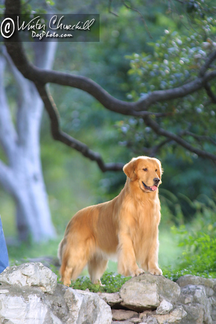 Golden Retriever in the park Golden Retriever Shopping cart has 3 Tabs:<br /> <br /> 1) Rights-Managed downloads for Commercial Use<br /> <br /> 2) Print sizes from wallet to 20x30<br /> <br /> 3) Merchandise items like T-shirts and refrigerator magnets