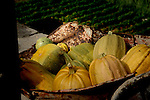 Pumpkins in wheelbarrow, vallehermosa,La Gomera, Canary Islands, Spain