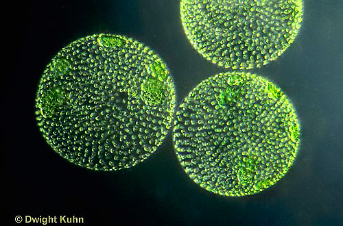 PX08-009c  Volvox -  Green Algae colony - Volvox spp.  100x