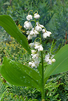 Convallaria majalis 'Flore Pleno' double flowered fragrant spring bulb, lilies of the valley