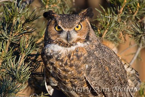 Great Horned Owl (Bubo virginianus) Rocky Mountain Raptor Center